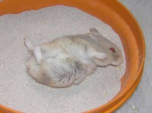 (c) Hamster'opedia